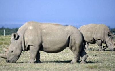 Doze embriões foram criados para salvar rinoceronte branco do norte – Notícias